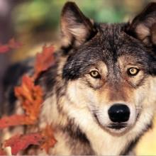 Nella tana del lupo